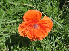 annual plant, flower, grass, plant, herb, wildflower, flora, coquelicot, meadow, petal, poppy,