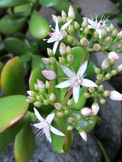 Flowers on a jade plant