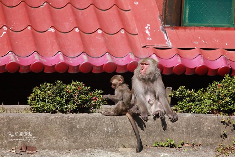 台南私藏景點-南化烏山獼猴 (17)