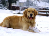 Bailey in the snow at Kingswood Park by Bailey the Golden