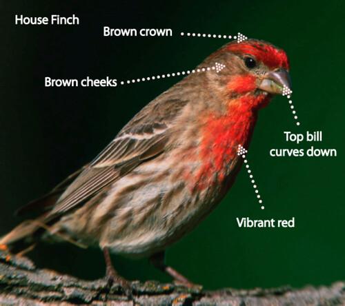 housefinch[1]