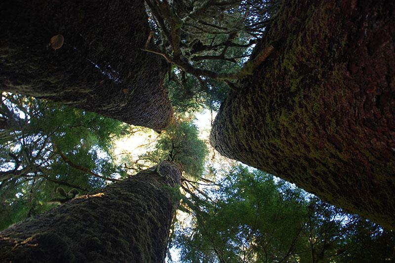 The Three Sisters in Carmanah Walbran Park, Carmanah Valley, West Coast Vancouver Island, British Columbia, Canada