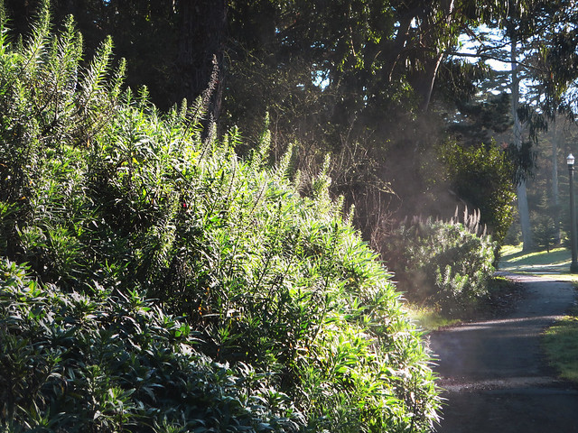 steam rising from a bush in golden gate park, San Francisco (2014)