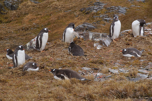 281 Ezelspinguins