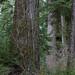 Small photo of Big Douglas fir tree