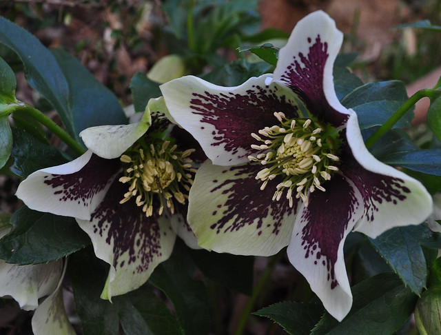 Helleborus (seedlings) (4)