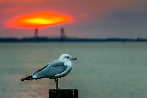 bird sunrise river seagull waterfowl
