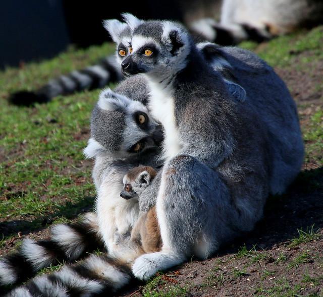 One Happy Lemur Family