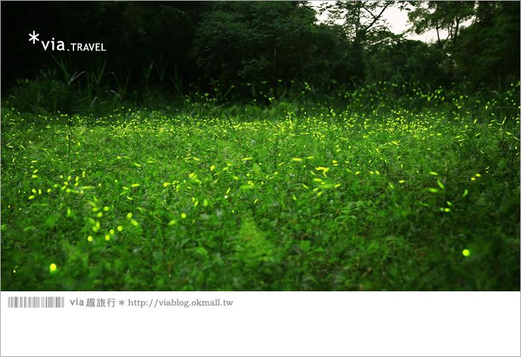 【台中螢火蟲】東勢林場螢火蟲~賞螢必遊!滿滿的螢火蟲閃爍夢幻光芒9