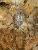 Ornamental tree trunk spider | Herennia multipuncta | River Tern Lodge | August 2013