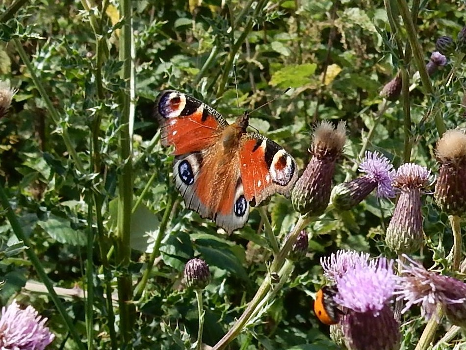 Peacock Pulborough Circular