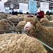 Bendigo wool and sheep show