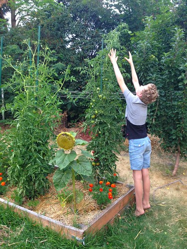 Tall tomatoes!