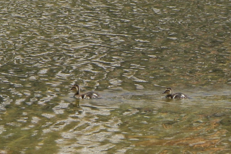 Two ducklings swimming near shore on Muir Lake