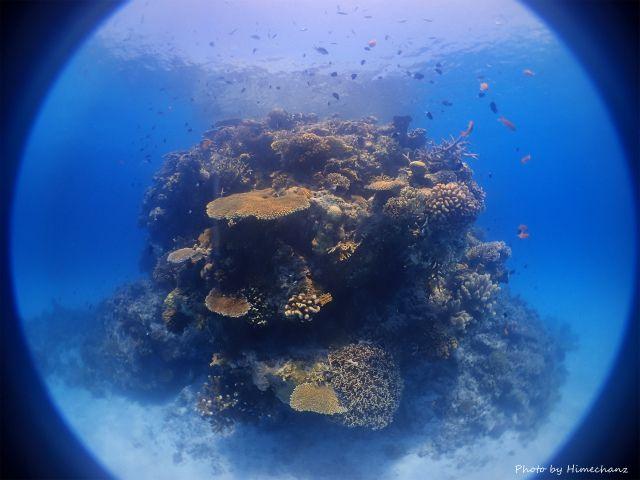 黒島のサンゴ達