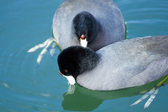 Pair O' Coots