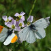 Mating Orange tips II