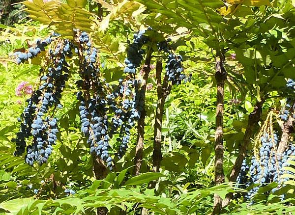grappes violettes 2