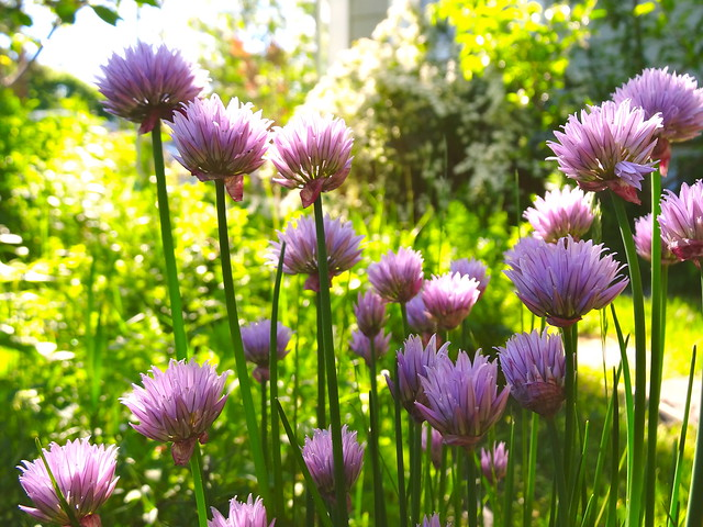 purple chives