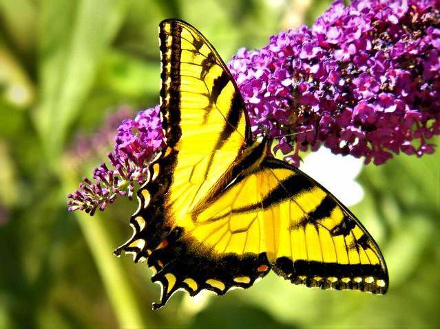 Eastern-Tiger-Swallowtail-2013-06-27
