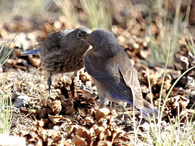 Western Bluebird feeding sequence 2-20130619