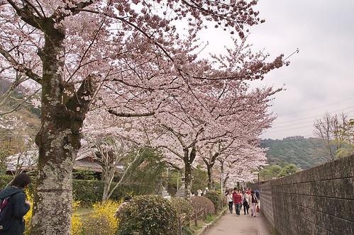 【写真】2013 桜 : 哲学の道/2018-12-24/IMGP9202