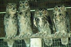 Young Horned Owls, ca. 1981