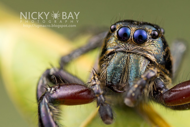 Heavy Jumping Spider (Hyllus sp.) - DSC_9081