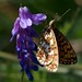 Small Pearl-bordered Fritillary by saltholme
