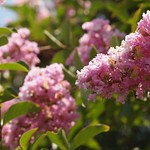In the neighborhood…Crape Myrtle - 02