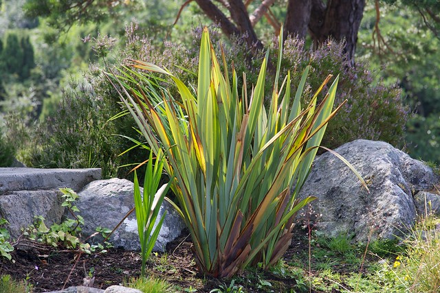 Phormium tenax after a hard winter
