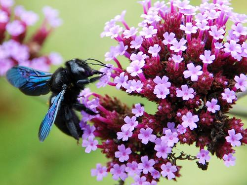 Bienen Bienen Holzbiene Holzbienen Rüssel Nektar Eisenkraut Blume Blumen Blüte Blüten