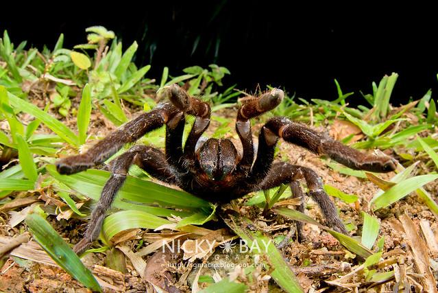 Tarantula (Theraphosidae) - DSC_1299