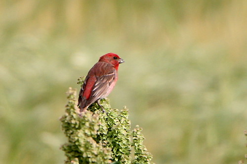 CommonRosefinch