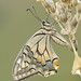 Swallowtail, P.m. gorganus by Nature Exposed