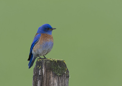 Photo:Western Bluebird (Sialia mexicana) By:Gregory