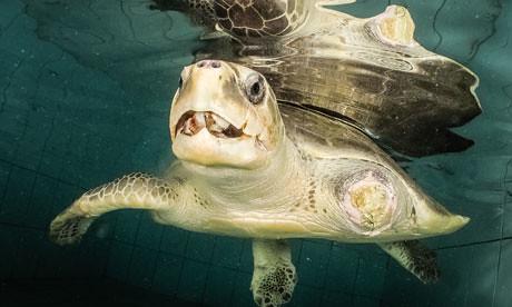 欖蠵龜的變種,生活於海洋廣闊水域中,而非馬爾地夫的環礁潟湖。(攝影:Martin Whiteley/Maldivian Sea Turtle Conservation Programme/Four Seasons Resorts Maldives。)