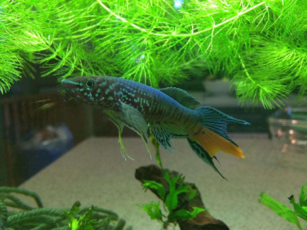 Killifish [Archive] - GTA Aquaria Forum - Aquarium Fish