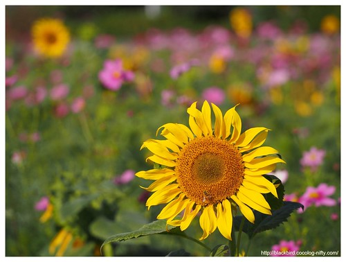 Sunflowers in the cosmos #02