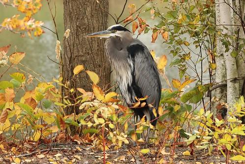 7957 Great Blue Heron (Explore 10/17/13)