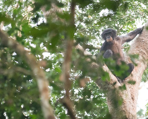 In the future Lomami National Park_a bonobo