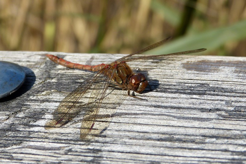 P1060204 - Common Darter, Cosmeston