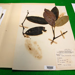 A 1968 specimen of Phaleria nisidai. Image Credit: Ari Daniel Shapiro.