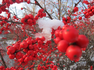 Snow Day @ Brookside Gardens: Snowy Berries