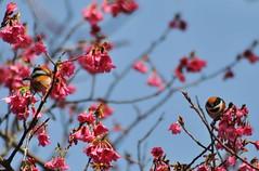 紅頭山雀也來了(圖片來源:南投林管處)