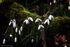 Snowdrops (ii)