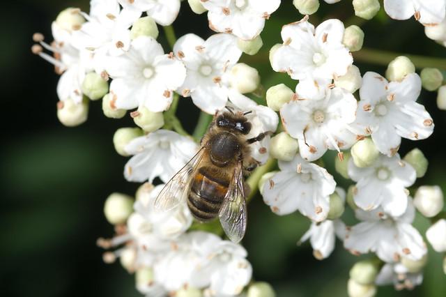 61: Honeybee
