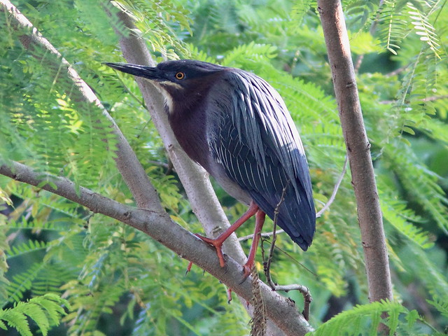 Green Heron male 3-20140226