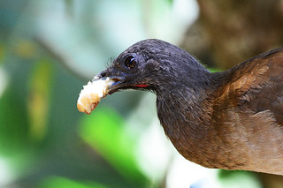 Panama: Gray-headed Chachalaca