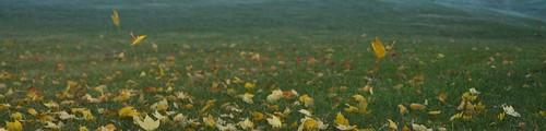 autumn fall leaves fallingleaves mapleleaf mapleleaves yellowleaf yellowleaves chlorophyll
